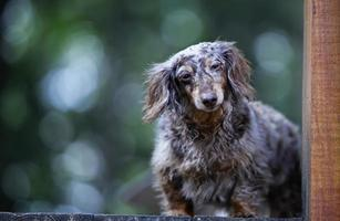 dachshund tierno en la plataforma de madera foto