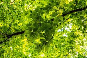 beech leafs photo