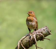Robin (Juvenile) photo