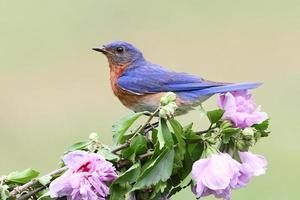 bluebird del este foto