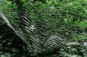 green Fern plant, in forrest photo