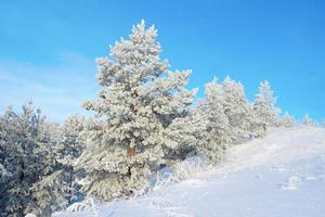 pinos cubiertos de nieve en la montaña