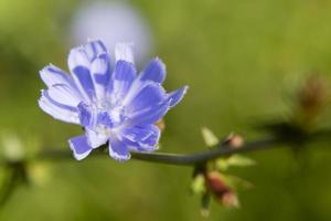 he chicory flower photo