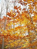 Autumn leaves:orange, red and yellow in some trees