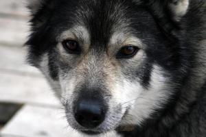 Siberian hunting dog Laika, Siberia, Russiа, восточно-сибирская охотничья лайка photo