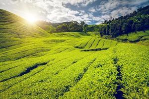 Teeplantage in Malaysia