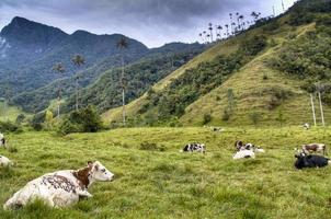 Cows at the Cocora valley