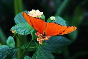 borboleta laranja em uma flor
