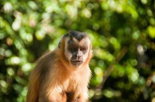 Small monkey in Bonito, Pantanal, Brazil photo