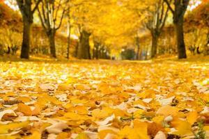 beco de tília no outono.