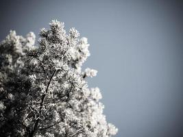 christmas background of snowy forest, frosted tree tops on sky.