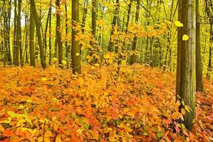 Red oak leaves on the trees in the autumn forest.