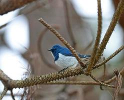 Colorful blue and white bird, male Ultramarine Flycatcher (Ficed