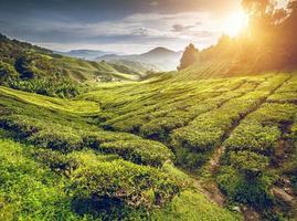 Teeplantage im Hochland von Cameron