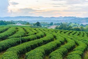 Teefarm blauer Himmel