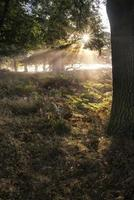 Sunbeams shining through trees in forest on foggy Autumn Fall
