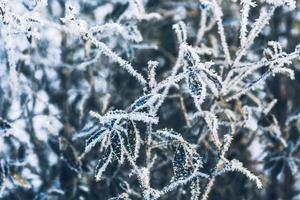 branch bush leaves in frost on background of winter forest photo