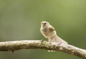Young Common Chiffchaff (Phylloscopus collybita)
