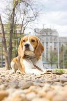 beagle dog lying on rocks in the park photo