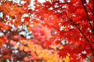 hermosas hojas de arce