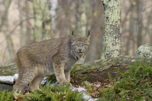 A lynx facing the camera in the forest with ferns