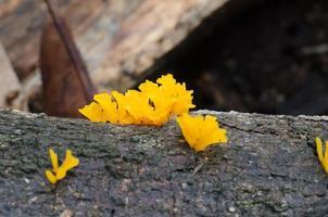 Craterellus aureus Berk.Et Curt. Growing on rotten wood
