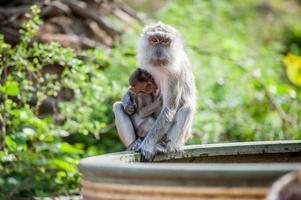 Baby monkey sucking breast milk