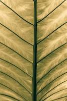 closeup Leaf of Giant Alocasia