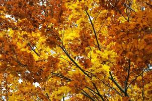 Upper branches of the autumnal trees photo