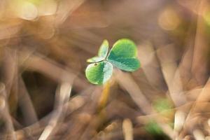 Wood sorrel leaf