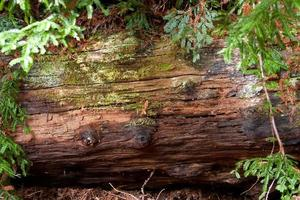 bemoste redwood log