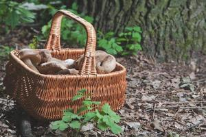 Harvested white mushrooms in a wicker basket in the forest photo