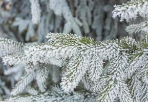 Coniferous branches covered with hoarfrost photo