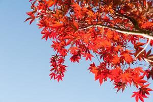 Japanese maple leaves bright red autumn coloration against blue