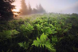 pradera de helechos al amanecer brumoso