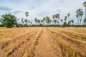 palm trees at field rice after harvest