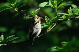 Singing Icterine Warbler