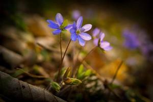 Blue sprigtime liverworts flower (hepatica nobilis)
