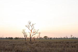 Landscape of ricfield with dry tree shape in Thailand.