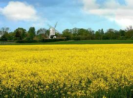 Rape seed and windmill
