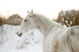portrait of arab horse in winter photo