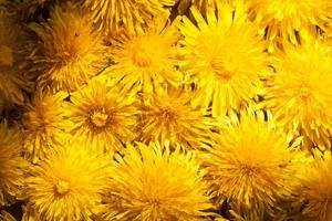 spring background with dandelions