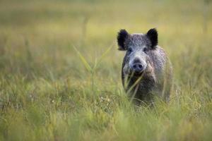 A wild boar looking straight ahead in a field of grass