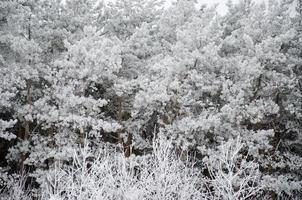 pine branch in frost winter white photo