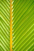 Textures of Green Palm leaves photo