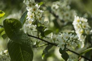 Bird-cherry tree with white flowers in daylight