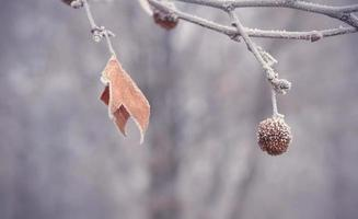 Plane tree seed ball and leaf