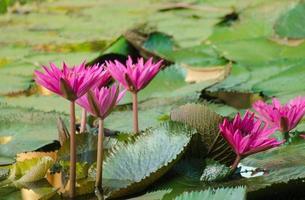 flor de lótus na lagoa.