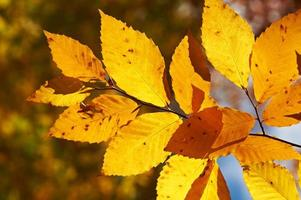 Autumn yellow leaves background photo
