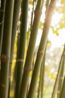 bambù su sfondo bianco